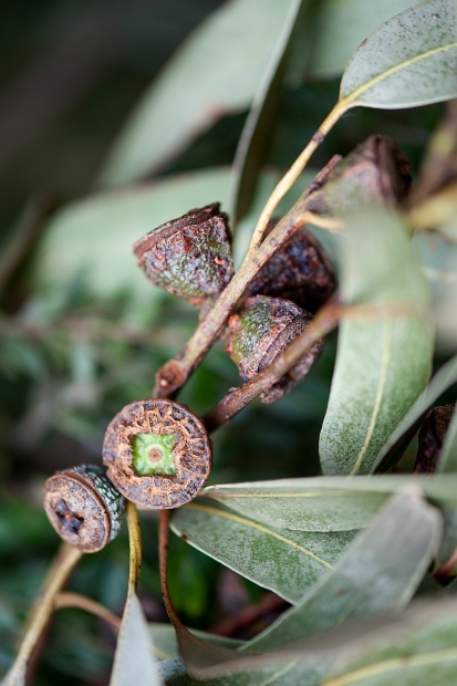 Gumnut, Great Otway National Park, Victoria
