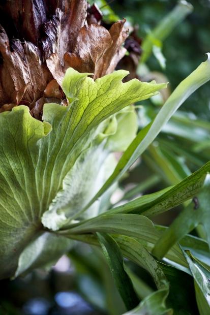 Stag horn fern, Otway Ranges, Victoria