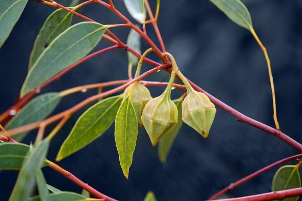 Eucalyptus kingsmillii - Kingsmill's Mallee