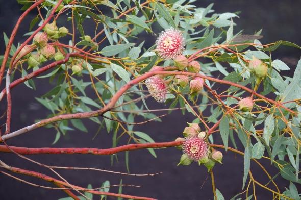 Eucalyptus_giles_mallee