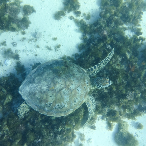 Turtle at Osprey Camp