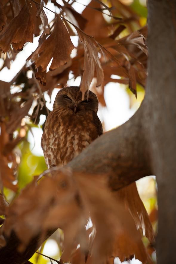 Resident camp owl
