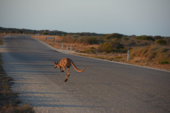 181012_Kangaroo_3