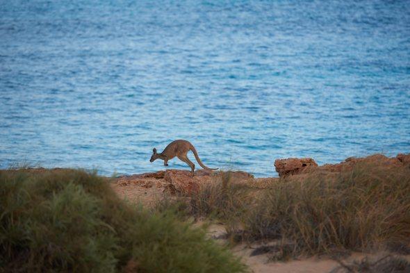 181018_kangaroo_26